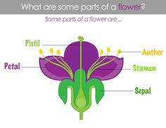Classical Conversations Cycle 1 Week 11 Science-Parts of a Flower