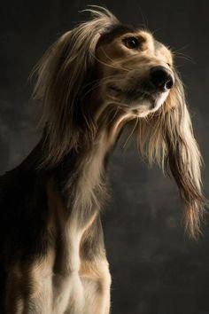 Saluki - Dog Portrait by Paul Croes