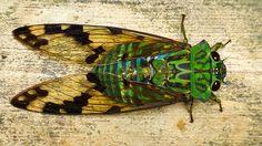 Emerald Cicada, Zammara smaragdina?
