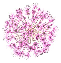 Allium flower pictures purple allium flower bulbs fleurs purple sensation allium photo from seeing flowers available everywhere books are sold mightylinksfo Image collections