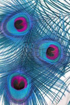 paon blanc: Résumé en bleu et rouge de trois plumes de paon, avec les yeux…