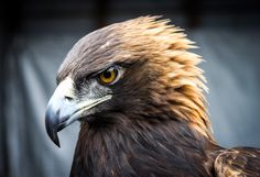The golden eagle is one of the best-known birds of prey in the Northern Hemisphere. It is the most widely distributed species of eagle. Like all eagles, it belongs to the family Accipitridae. https://en.wikipedia.org/wiki/Golden_eagle