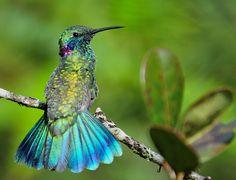 Foto beija-flor-de-orelha-violeta (Colibri serrirostris) por Rafael Fortes | Wiki Aves - A Enciclopédia das Aves do Brasil