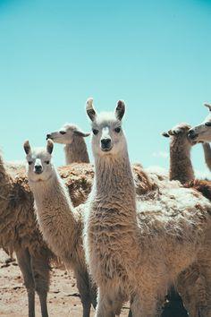 Andes regions llamas