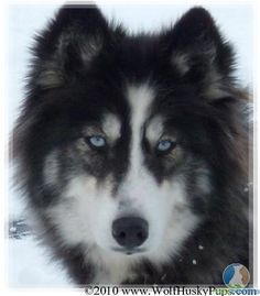 Just a husky mix. Looks way too doggy in the face to be wolf Husky Wolf Mix, Wolf Dog Puppy, Husky Puppy, Wolf Dogs, Beautiful Wolves, Beautiful Dogs, Animals Beautiful, Baby Animals, Funny Animals