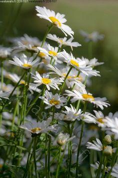 isopäivänkakkara Daisy, Beautiful, Flowers, Plants, Daisies, Pretty Pictures, Margarita Flower, Plant, Royal Icing Flowers