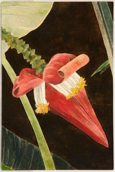 Cressida Campbell ~ Red banana flower, 2009, watercolour paint on plywood, 27 x 18 cm