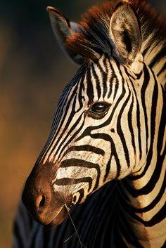 Zebra by Johan Swanepoel
