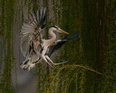 """Grey Heron Applying the Brakes,"" Regents Park, London, England, photo by Gerard Sexton. A British Wildlife Photography Awards winner, showcasing the importance of viewpoint in photography (as well as other impressive skills)."