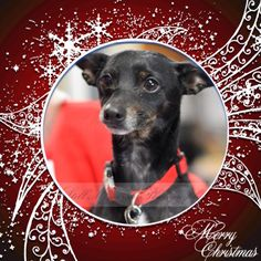 Skipper has been at ARF since early summer- let's not let him still be homeless in 2015! Skipper is a min pin mix who loves people. Adoption fee is $100. Neutered, heartworm negative, and all shots up to date.