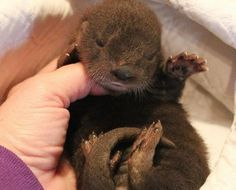 I would like to hold this otter! Nature Animals, Baby Animals, Cute Animals, Otter Tattoo, Otter Pup, Baby Otters, All About Animals, Cute Creatures, Spirit Animal
