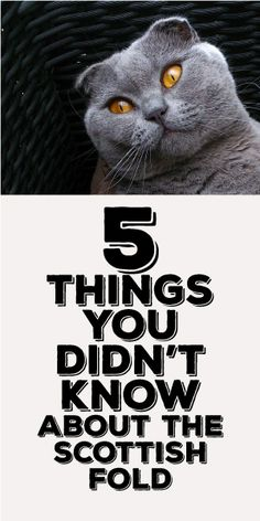 5 Things You Didn't Know About Scottish Fold