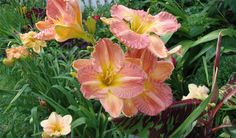 "Daylily cross of S. Copper Kettle and unknown. 37"" tall and so bright and ripply wavy.... :)"