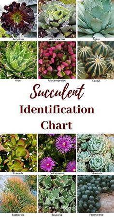 Succulent identification chart with pictures! Learn why properly identifying your succulents is so important. And discover several different ways to identify succulents. #succulents #succulentcare #succulentidentification #succulentid #succulentidentificationchart Identifying Succulents, Different Types Of Succulents, Succulent Names, Planting Succulents, House Plant Care, House Plants, Hens And Chicks, Leaf Shapes, Echeveria
