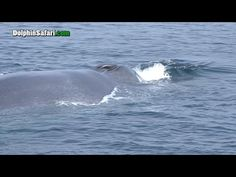 Rescuers Try to Save Giant Blue Whale Trapped in Fishing Gear