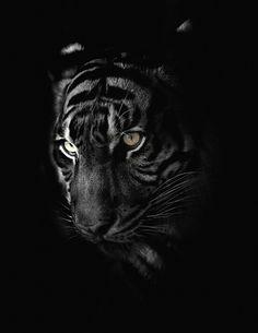 Sumatran Tiger by Harimau Kayu on Flickr.