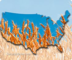 GMO genetic pollution alert: Genetically engineered wheat escapes experimental fields planted across 16 states