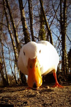 Pet Ducks, Baby Ducks, Types Of Animals, Animals Of The World, Funny Birds, Cute Funny Animals, Pato Animal, Cute Ducklings, Raising Ducks