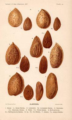 1897 almonds original antique botanical nut by antiqueprintstore