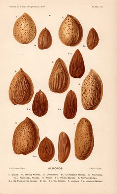 Almonds — Book plate lithograph printed in colour in the USA, 1897