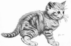 Kitten   Pencil rendering 11x14 inches  Limited edition of 200 prints  $15 each