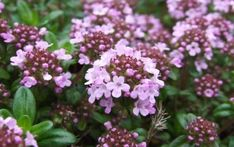 A vigorous thyme with medium green leaves and fairly large pink flowers. tall and spreading at a good clip. Loved by bees (honey and bumble)! Minimum temperature: F Lilac Flowers, Colorful Flowers, Red Creeping Thyme, Wooly Thyme, Bee Friendly Flowers, Early Girl Tomato, Garden Levels, Ground Cover Plants, Drought Tolerant Plants