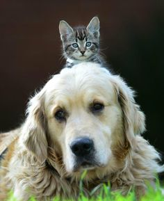 Unlikely friends: This cute 8-week-old kitten has found an unusual friend in an 8-year-old golden retriever. Dogs and cats are normally enemies but the old dog Harvey has become protective of the you