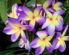 Rare Yellow Purple Plumeria Seeds Plants Flower Lei Hawaiian Garden Fragrant Tree Hawaii Wedding Party Fragrance Beautiful 543 by ToadstoolSeeds on Etsy