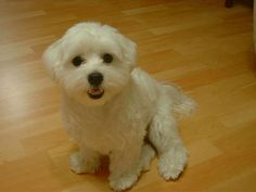 grooming my bichon frise puppy. how do i give her a haircut