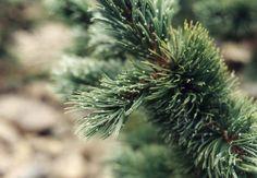 Plant photo of: Pinus aristata