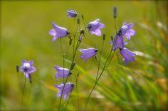 Die letzten Wiesenglockenblumen in diesem Jahr. von Boschfoto