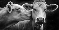Cow photography - Kissing Cows by Kim Sandy – Cow photography Cute Baby Animals, Farm Animals, Animals And Pets, Funny Animals, Wild Animals, Beautiful Creatures, Animals Beautiful, Cow Photos, Cow Pictures On Canvas