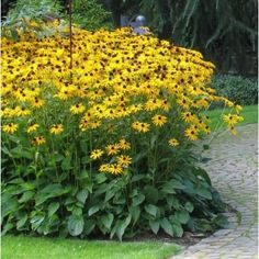 Rudbeckia fulgida 'Goldsturm' (gele zonnehoed)