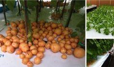 Pestujte doma na balkóne zemiaky vo vzduchu bez pôdy konečne aj vy! Pesto, Plum, Fruit, Vegetables, Food, Funguje To, Gardening, Meal, The Fruit