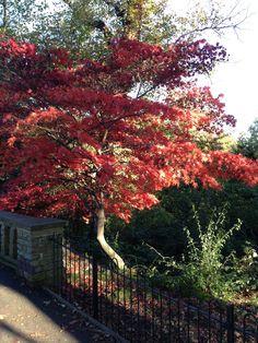 Waterlow Park - Japanese fire tree