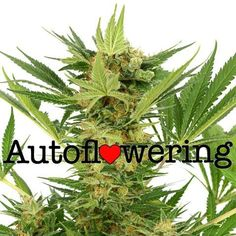 I bring quality Marijuana, as medicine to everyone who needs it!!! recreational marijuana, for all in need. Buy Medical Marijuana, and cannabis Oil. Call or text me if you are interested : +1(757) 758-5385 Email:blakeanderson521@gmail.com