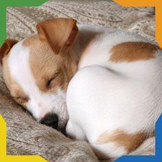 ¿Sabías que? Los perros duermen en forma de bolita debido a un instinto a mantenerse calientes.