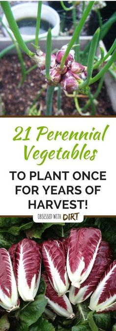 Perennial Vegetables are not known by many gardeners even though many already have them in their gardens. Basically, they are crops that can be planted once and harvested continuously for many years.