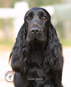 "Visit our internet site for additional info on ""cocker spaniel dog"". It is actually an excellent spot to find out more. Show Cocker Spaniel, Black Cocker Spaniel, American Cocker Spaniel, Field Spaniel, Spaniel Breeds, Dog Breeds, I Love Dogs, Cute Dogs, Cockerspaniel"