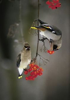 Winter's Bounty - Waxwings  ( I have seen this elegant birds get totally drunk on fermented berries, all fall out of trees, stagger around a bit, fly back up and repeat the whole process...over, and over...unbearably funny)