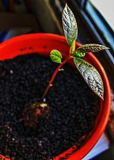 8 arbres fruitiers que vous pouvez cultiver à partir des graines et des noyaux de vos fruits - Trucs et Astuces - Trucs et Bricolages