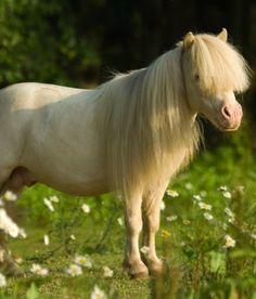 blondie the miniature horse