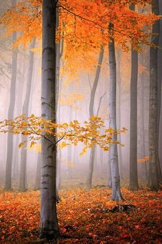 Look at the glow of those autumn leaves! And the slender grey trunks beneath, being hugged by the fog!
