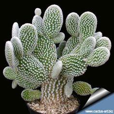 "Opuntia microdasys ""albata"" (= albispina)"