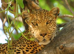 This great shot of a leopard in an Sausage Tree (Kigelia africana) was taken by Nkosi on a recent safari in Moremi Game Reserve.