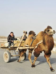 emoseman:    Camel Cart from Kashgar, 2012