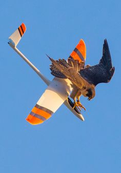 This Peregrine Falcon in South Bay, Los Angeles, didn't enjoy model plane enthusiasts getting too close to her nest - taking down their gliders in mid-air. The Peregrine attacked at least two planes which fell to the ground. Beautiful Birds, Animals Beautiful, Peregrine Falcon, Funny Birds, Foto Art, Birds Of Prey, Bird Feathers, Birds In Flight, Beautiful Creatures