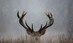 deer in snow hd backgrounds - Google Search