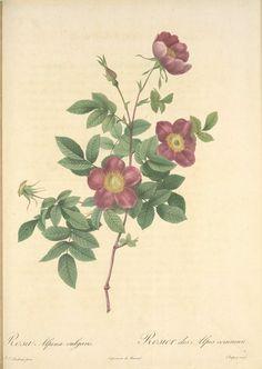 Rosa Alpina Vulgaris; Eglantier des Alpes (syn.); Rosier des Alpes - ID: 1208796 - NYPL Digital Gallery