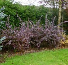 Buy Berberis x ottawensis f. purpurea Superba (Barberry) online from ...